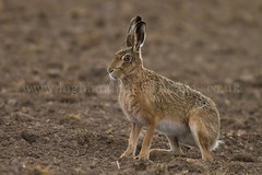 Brown Hare 30m from Our Home! (Lepus europaeus) 5059 (Highland Andy (Andy Howard)) Tags: detail nature animal closeup scotland highlands wildlife scottish highland inverness invernessshire brownhare lepuseuropaeus
