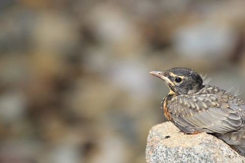 Baby Robin On Rock