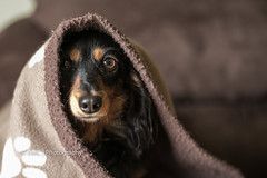 Peek-A-Boo ({Andrea}) Tags: dog 50mm peekaboo canine dachshund miniaturedachshund doxie odc day136 doxy niftyfifty doxi day136365 canoneos6d 3652013 365the2013edition 16may13