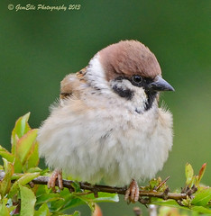 Fluffy Tree Sparrow (GemElle Photography) Tags: tree nikon sparrow gemelle treesparrow sigma50500 d600 sparrowhawkfood gemelle1