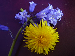 May2013 253 Dandelion and Spanish bluebell (monica_meeneghan) Tags: flowers spring ngc naturescarousel blinkagain frogpondflorals