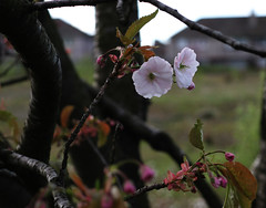 urban blossom (grahambob68) Tags: flowers tree canon 50mm scotland branch blossom canon20d depthoffield johnstone