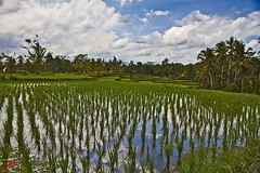 Rice Field #1 (Ausamah) Tags: old travel sky bali woman man reflection green art love water girl beautiful field indonesia temple photography bahrain paradise child gulf rice julia farmers terrace farm pray grow scene arabic eat national arab roberts arabian agriculture hindu indonesian geographic peasant balinese ausamah alabsi
