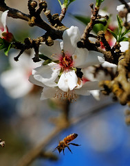 Orchard_4094-1 (jbillings13) Tags: california landscapes farming almond orchard orchards kerncounty almondorchard