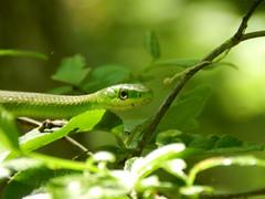 Rough Green Snake (Christine_Ray) Tags: new pine forest state reserve national jersey pinelands barrens belleplain belleplaincapemayandparvin