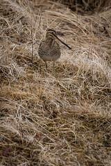 Hrossagaukur / Common Snipe (Gallinago gallinago) (Sigurberg) Tags: vor commonsnipe bstaur gallinagogallinago hrossagaukur