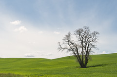 Palouse Tree (NikonDigifan) Tags: tree clouds washington nikon farming nik agriculture lonetree palouse d300 easternwashington palousehills viveza mikegassphotography