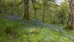 Bluebell wood (The^Bob) Tags: colour nature woodland scotland dumfriesgalloway