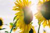 Sunflower (Strawberry Mood) Tags: life light sunset sunlight flower green nature field yellow backlight hope mood seed lifestyle fresh sunflower vitamin outdorr strawberrymood strawberrymoodcom