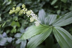 "False Solomon's Seal flowering • <a style=""font-size:0.8em;"" href=""http://www.flickr.com/photos/92887964@N02/9269379277/"" target=""_blank"">View on Flickr</a>"