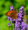Lavendel mit Schmetterling - Lavender with butterfly