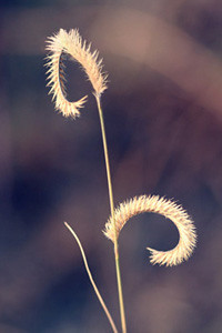 Photo - Blue grama grass