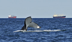 Migrating Humpback Whale (maureen_g) Tags: nature wildlif