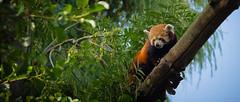 Firefox ;o) (Alexandre LAVIGNE) Tags: nature photography photo firefox pentax ailurusfulgens feuillage pandaroux smcpentaxda50135mmf28edifsdm louisengival pentaxk5iis k5iis format2351 format235
