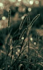 Sptsommerwiese - late summer meadow (Manuela Salzinger) Tags: autumn light sunset summer grass evening abend licht sonnenuntergang sommer herbst meadow wiese gras latesummer sptsommer