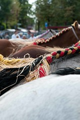 DSC_5319 (Ton van der Weerden) Tags: horses horse de cheval nederlands belges draft chevaux belgisch trait gemert trekpaard trekpaarden fokpaardendag eenjarigemerries
