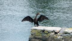 Cormorant in Stamford (blazer8696) Tags: usa nikon unitedstates connecticut ct coolpix cormorant stamford ecw 2013 aw100 furandfeathers dscn4639 t2013 westcotthistorical