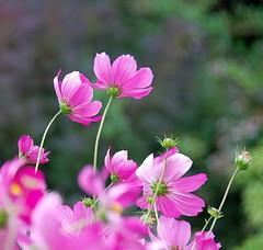 Blowing in the Breeze, Searching for the Sun... (antonychammond) Tags: pink flower garden bokeh asteraceae cosmos herbaceousperennial flowersarebeautiful natureselegantshots mimamorflowers panoramafotográfico faunayfloradelmundo