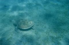 Tartaruga (Piffi_) Tags: sea nature water animal underwater turtle redsea reef