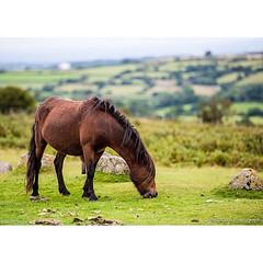 Wild horse in Dartmoor National Park, Devon | ม้าป่าที่อุทยานแห่งชาติ Dartmoor แคว้น Devon สถานที่ถ่ายทำภาพยนตร์รางวัล Oscar เรื่อง War Horse :) | Nikon D800 | Nikkor 70-200mm f/2.8G VR II