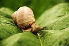 Schneckonator (Affenmeister) Tags: desktop animal snail blatt schnecke hintergrund