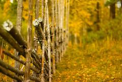 Blackss (netzanette) Tags: autumn fall 50mm nikon sweden bokeh vall hlsingland d80 fbod nikond80 grdesgrd fbodvall blackss blackssvallen