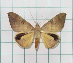 Oxyodes scrobiculata (Fabricius, 1775) (Moths of Wangxiang) Tags: moth taiwan  moths noctuidae catocalinae   nantou    oxyodes scrobiculata  wangxiang