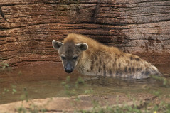 searching for the prize (ucumari photography) Tags: sc laughing zoo october south columbia carolina spotted hyena riverbanks 6541 2013 ucumariphotography hyenahyena