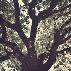 iphoneography (ΞSSΞ®®Ξ) Tags: light italy tree texture apple square branches 4 foliage lazio iphone iphoneography snapseed ξssξ®®ξ