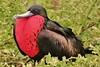 Great Frigatebird with Extended Throat Sac (Explore #3 11/19/13) (Susan Roehl) Tags: ngc april matingseason greatfrigatebird specanimal genovesaisland coth5 galapagos2013