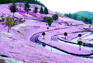 【组图】粉色海洋:惊艶的日本北海道花海