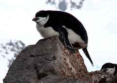 King of the castle (ericy202) Tags: moon island penguin december antarctica 2006 half chinstrap wildpenguin