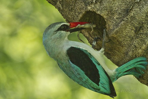 Woodland Kingfisher  at nest  entrance with small Lizard_0044