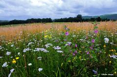 Champ fleuri (didier95) Tags: fleur lot ciel nuages paysage campagne champ fleursdeschamps champfleuri