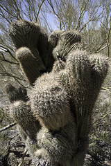 2007-OrganpipeNP-63 (Geir K. Edland) Tags: cactus saguaro cristata carnegieagigantea