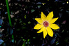 Flower Power (Macrophy (Grant Beedie)) Tags: dahlia christchurch colour botanical botanic flowwer canterburynz grantbeedie