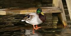 Mallard (Paul (Barniegoog)) Tags: nature water duck waterbird mallard daventry daventrycountrypark