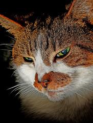 """Poppy"" - Up Close (December 2009) Canon EOS 7D & EF 50mm F1.8 ""Niffty Fifty"" (markdbaynham) Tags: pet face cat canon eos 50mm feline close 7d poppy f18 dslr fifty apsc niffty"