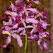 Lc Purple Plume 'Rainbow Valley' CCM/AOS – Anita & Jerry Spencer