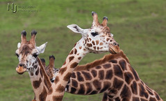 I Don't Want To Be In The Picture (Nigel Jones LRPS) Tags: shy giraffe portlympne