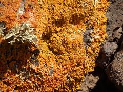 P2140648 Xanthoria aureola (fotoculus) Tags: espaa de la fuerteventura canarias pico lichen canaryislands spanien wanderung jandia xanthoria kanarischeinseln zarza flechten