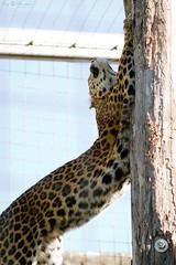 That's my tree (Cloudtail the Snow Leopard) Tags: china animal cat mammal zoo chinese leopard bigcat katze scratch karlsruhe marking tier panthera kratzen raubkatze pantherapardus pardus sugetier markieren beutegreifer groskatze