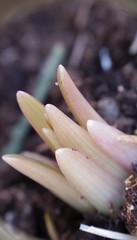 Becoming a Lily / Spring Feeling (isvei) Tags: mars flower detail macro nature norway closeup garden march norge spring pentax natur spire growing makro blomst sørtrøndelag blomster hage vår becoming trøndelag soknedal midtregauldal trã¸ndelag pentaxq7 mars2014