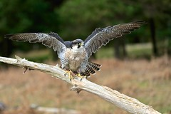 _F1_0585 (www.fozzyimages.co.uk) Tags: wildlife newforest birdsofprey rspb captivelightukcom