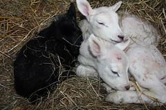 Oh my Baby Triplets (excellentzebu1050) Tags: closeup farm birth lamb lambs newlife animails takenwithlove lambbirth thegoldenachievement april2014tripletslambs