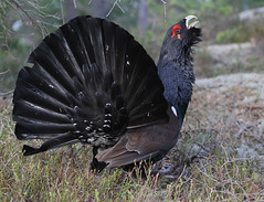 Western Capercaillie (Wild Chroma) Tags: male birds sweden tyresta capercaillie tetraourogallus tetrao nonpasserines urogallus