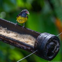 Sucrier - Parc des Mamelles (Olivier Cretin) Tags: bird animal zoo oiseau guadeloupe d610 bouillante sucrier routedelatraverse parczoologiquedesmamelles