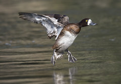 Greater Scaup (Hockey.Lover) Tags: birds explore lakemerritt alamedacounty greaterscaup