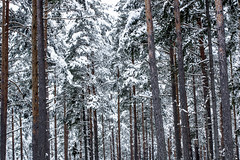 Snowy foest (imagesbystefan.com) Tags: wood trees winter white snow cold tree green nature beautiful pine forest season high woods day natural outdoor background nobody frosty covered trunks scebery