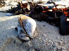 Beach Jeans (Landanna) Tags: blue nature blauw natur natuur mussel mossel bl beachjeans